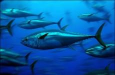 US keeps bluefin tuna off endangered list