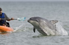 Photographer's five-year tour of the British coast to capture amazing images dolphins at play .