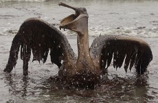 Dying Pelican in Gulf Oil