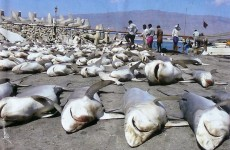 Dead Sharks --killed for Chinese Shark Fin Soup