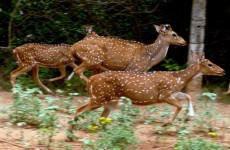 Deer in India