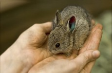 Pygmy Rabbit in Hands