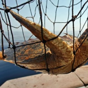 Turtles Killed in Nets