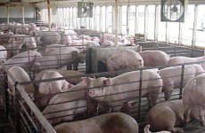 Hog Farm pollution comes from Pigs