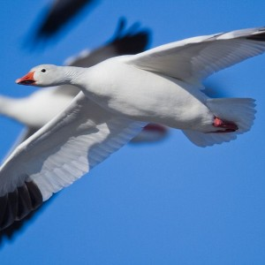 Snow Goose in mid flight