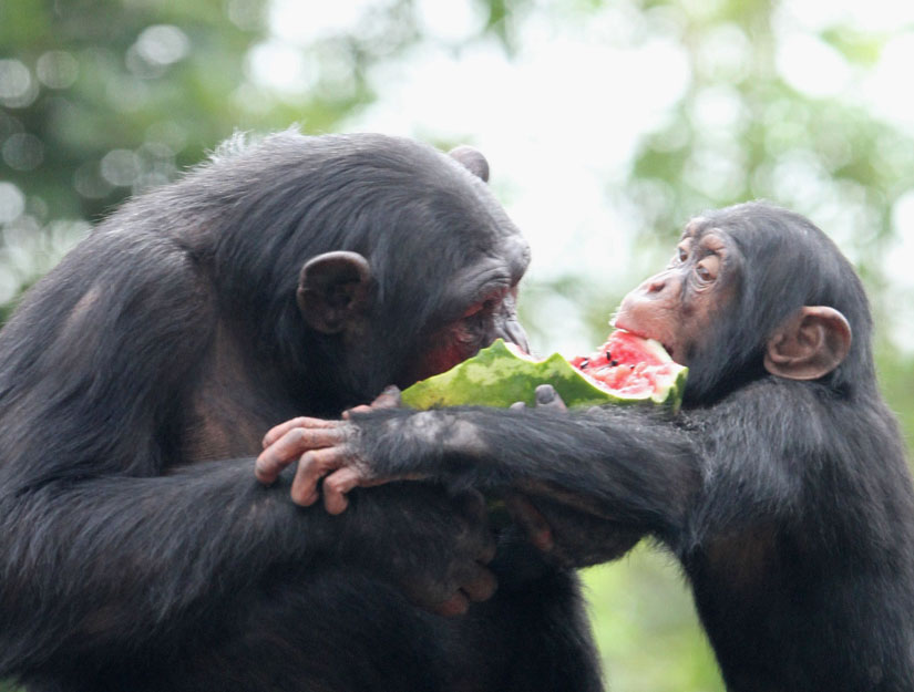 Chimps showing empathy by sharing watermelon