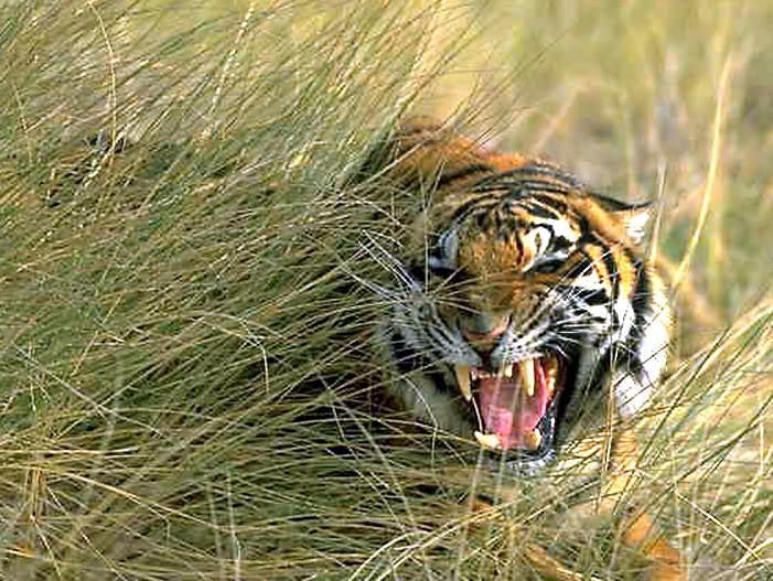 snarling siberian-tiger